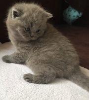 BKH Kitten in blau mit