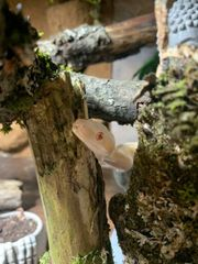 Albino Motley Boa 0 1