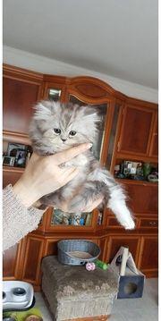 Reinrassige Perser Katzenbabys
