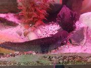 Axolotl Wildlinge