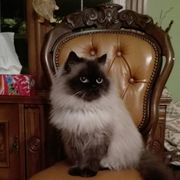 Ragdoll Kätzchen Katze
