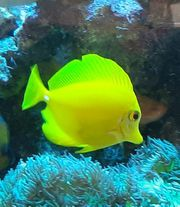 Hawaii Doktorfisch Zebrasoma flavescens
