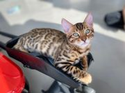 Bengal Kitten mit Stammbaum und