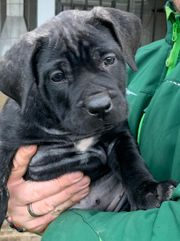 Hundewelpen Dogo Canario