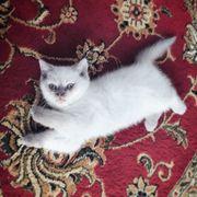 BKH Kitten Lilac Point