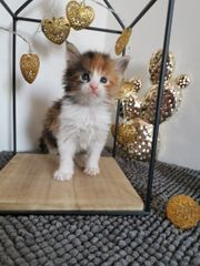 Maine Coon Kitten auch Poly
