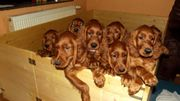 Irish-Setter WURFERWARTUNG