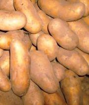 Kartoffenl Salatkartoffel Speisekartoffel Linda Belana