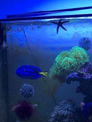 Palettendoktor Meerwasser Fisch