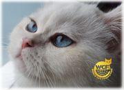 BKH DECKKATER mit wunderschönen Blauen