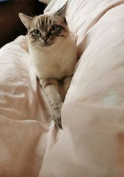 Deckkater Siam Seal Tabby Point