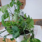 Kletter und Schling Zimmerpflanze im