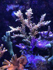 Acropora Echinata meerwasser