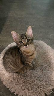 12 Wochen alte Kätzchen
