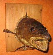 Biete zwei Fisch Präparate
