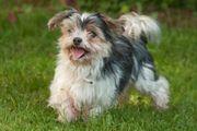 Yorki Maxl 10 5 Jahre - Yorkshire-Terrier-Mix