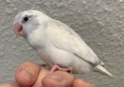 Supersüsse nestjunge liebe Blaugenick Sperlingspapageien
