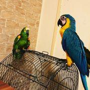 Ara Papagei zu verkaufen