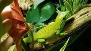 Verschenke Madagaskar tag Gecko