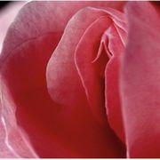 Lust meine Rosenblätter zu lecken