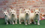 Bildschöne West Highland Terrier Welpen