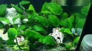 Schöne Anubia Aquarium Wasserpflanzen 1