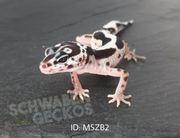 Leopardgeckos MS Mack Snow Zorro