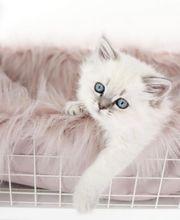 babykatzen bkh