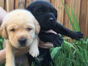 Labrador Welpen Reinrassige