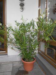 Oleander weiß