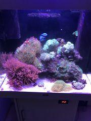 Juwel Lido 200 Meerwasseraquarium