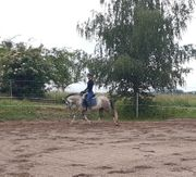 Welsh Pony Wallach schulpferd zu