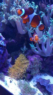 Anemonenfische Clownfische