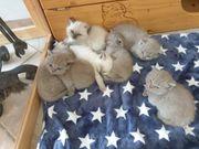 Zuckersüße BKH Kitten suchen neuen