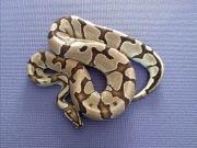 Königspython Python regius - Adulte und