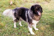 BOND - Herdenschutzhund Mix - sucht Kenner