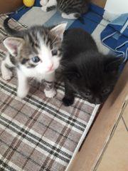 Schöne Katzenbabys