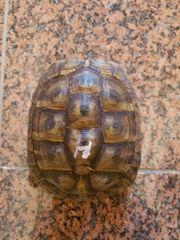 Landschildkröte Griechische 3 Weibchen 1