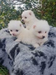 Winzige schneeweiße Pomeranian Welpen