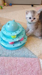 Bezaubernde BKH- Kitten