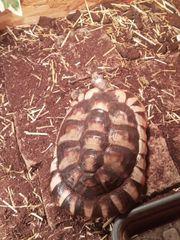 Breitrandschildkröten 4 Stück Schildkröten