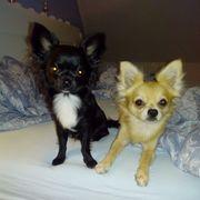 Chihuahua Langhaar Deckrüden kein Verkauf