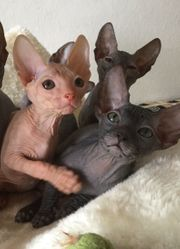 Don Sphynx Kitten Katzenbabys Kätzchen