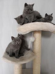 Reinrassigen BKH Kitten Abgabebereit