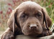 Labrador Welpen Rüden mit Ahnenpass
