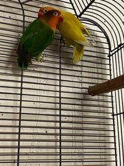 Paar Pfirsichköpfchen inkl Käfig