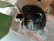 Wasserschildkröte Schildkröte Gelbwange Gelbwangenschmuckschildkröte