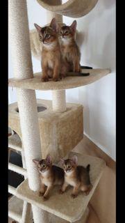 süße Abessinier Kitten