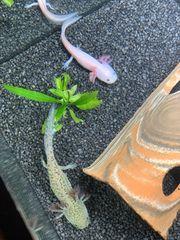 Junge axolotl