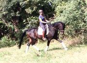 Dressurpferd Wallach 5 jährig